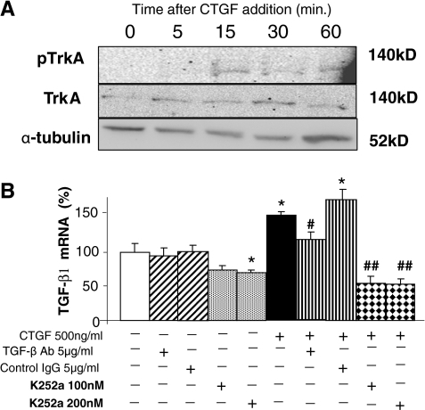 CTGF phosphorylation of TrkA and upregulation of TGF-β1 mRNA. A, Addition of rhCTGF to H9c2 cells induced rapid phosphorylation of TrkA but did not increase total TrkA. B, rhCTGF application to cells induced TGF-β1 mRNA, which was inhibited by anti-TGF-β1 antibody or k252a. Data is mean±SD. *, P < 0.05, vs control. #P < 0.05, ##P < 0.01 vs CTGF treatment