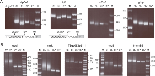 Poly(A) tail reduction of specific maternal mRNA in aged eggs.Poly(A) tail behavior of the indicated transcripts decreased (A) and not changed (B) upon egg aging are shown. Total mRNA from fresh (0 h) and aged (3 h) eggs was assayed by the RNA ligation-mediated poly(A) test (RL-PAT). * indicates RNaseH/oligo(dT)20 digestion prior to ligation. Control lanes: –Lig, Ligation reaction performed without RNA; -RT, ligated RNA was not reverse transcribed prior to PCR. M, DNA size marker are given in base pairs. Direct sequencing of atp5a1 and tpi1 (A lower panel) reveals the actual transcript 3′ending (indicated by arrows), which is in fresh eggs at the end of the poly(A) tail (italic As), but in aged eggs several nucleotides upstream of the former end of the RNA body (clear box). P1 is the ligated primer.
