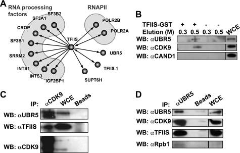 TFIIS interacts with the E3 ligase UBR5 and the P-TEFb kinase CDK9. A, high confidence interaction network for human TFIIS. The graph shows part of a network of high confidence interactions obtained using affinity purification (in vivo pulldown) coupled with mass spectrometry, with 77 TAP-tagged baits targeting many transcription and RNA processing factors (22). B, in vitro pulldown using TFIIS-GST. In vitro pulldown experiments used HEK 293 whole cell extracts with TFIIS-GST bound to glutathione-Sepharose beads or with control glutathione-Sepharose beads. The eluates and input (5%) were immunoblotted using antibodies directed against UBR5, CDK9, or the control protein CAND1. The NaCl concentration (m) in the elution buffer is indicated. C and D, immunoprecipitation using anti-CDK9 (C) and anti-UBR5 (D) antibodies. Immunoprecipitation experiments used HEK 293 whole cell extracts with an antibody raised against CDK9 (C) or UBR5 (D) bound to protein A beads or with mock protein A beads. The eluates and input (5%) were run on SDS gels and immunoblotted using antibodies against UBR5, TFIIS, CDK9, and Rpb1. WB, Western blotting; IP, immunoprecipitation; WCE, whole cell extract.