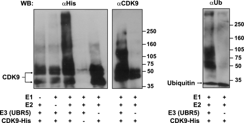 "UBR5 ubiquitinates CDK9 in vitro. Ubiquitination of baculovirus-expressed CDK9 carrying a His tag was obtained in the presence of the enzymes E1, E2 (UbcH5b), and E3 (affinity purified UBR5). The reactions were incubated with ubiquitin (Ub), ubiquitin aldehyde, and AMP-PNP as described under ""Experimental Procedures."" Higher molecular weight ubiquitinated forms of CDK9-His were detected by immunoblotting with anti-His or anti-CDK9 antibodies (left panel). To confirm that the higher molecular weight bands contained ubiquitinated forms of CDK9, replicate reactions were analyzed by immunoblotting with an anti-ubiquitin antibody (right panel). WB, Western blotting."