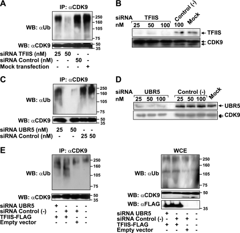 TFIIS or UBR5 knockdown decreases the ubiquitination of CDK9 in vivo, and UBR5 is required for the effect of TFIIS on this ubiquitination event. A, HeLa cells were transfected with the indicated concentrations of siRNAs targeting TFIIS or control nontargeting siRNAs or mock transfected. The cells were treated with lactacystin and lysed, and the lysate was used in immunoprecipitation experiments with an anti-CDK9 antibody (C20). The eluates were run on SDS gels and immunoblotted with anti-ubiquitin or anti-CDK9 antibodies. B, comparison of knockdown efficiencies resulting from treatment with siRNAs targeting TFIIS or control nontargeting siRNAs. C, HeLa cells treated with the indicated concentrations of siRNAs targeting UBR5 or nontargeting siRNAs were assayed for in vivo ubiquitination (as in A). D, comparison of knockdown efficiencies resulting from treatment with siRNAs targeting UBR5 or control nontargeting siRNAs. E, HeLa cells treated with siRNAs targeting UBR5 or nontargeting siRNAs (50 nm) or mock-treated were transfected with a construct driving the expression of TFIIS-FLAG or with an empty vector. An in vivo ubiquitination assay (as in A) was performed with the transfected cells. The lysates were used for anti-CDK9 immunoprecipitation, and the eluates (left panel) or the input (5%) (right panel) were run on SDS gels and immunoblotted with anti-ubiquitin or anti-CDK9 antibodies. The expression of the FLAG-tagged protein was monitored by immunodetection with an anti-FLAG antibody. WB, Western blotting; IP, immunoprecipitation; WCE, whole cell extract.