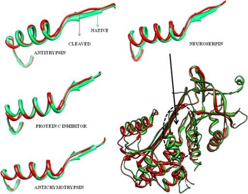 Structural overlap of the native and cleaved conformation of strand 6B and helix B in serpins: Illustrations show the overlap of cleaved and native conformations in α1-antitrypsin, neuroserpin, protein C inhibitor and antichymotrypsin indicating the deformation of strand 6B. The analysis was performed using the PDB structure coordinates as follows A) antitrypsin [2Å native:pdb.1QLP(A), 2.6Å cleaved:1pdb.EZX(A)], B) neuroserpin [2.08Å native:pdb.3FGQ(A) and 1.79Å cleaved:pdb.3FO2(A) from human], C) protein C Inhibitor [2.30Å native: pdb.2HI9(A) and 2.40Å cleaved:pdb.1LQ8(A) from human] and D) antichymotrypsin [2.26Å native like delta conformation: pdb.1QMN(A) and 2.9Å cleaved :pdb.4CAA(A), antichymotrypsin from human]. Chimera software was used for creating the comparison and visualization.