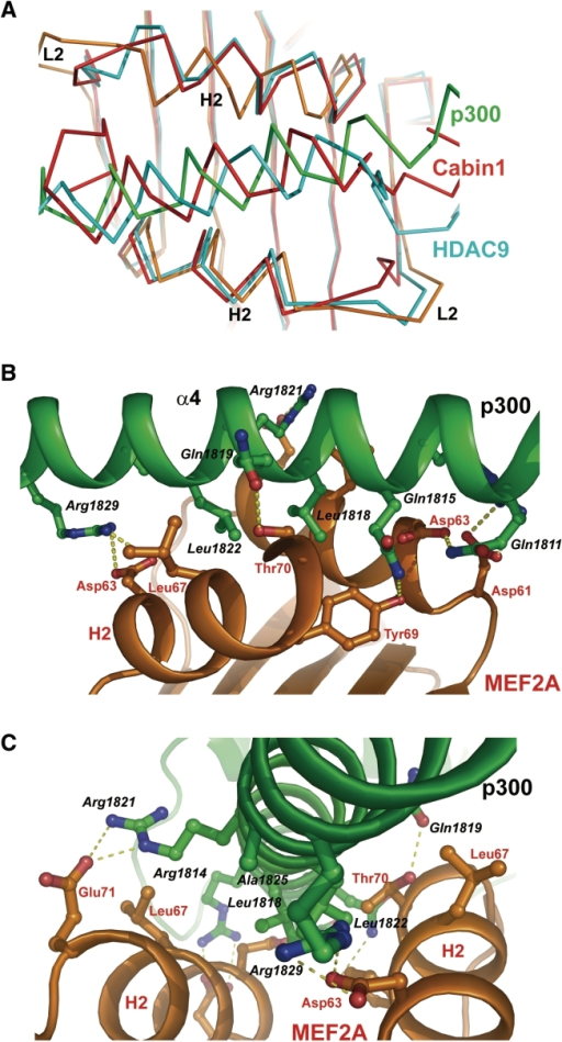 Protein–protein interactions at Interface I. (A) Structural comparison of Interface I (p300 in green and MEF2 in gold) with the Cabin1:MEF2:DNA complex (red) and the HDAC9:MEF2:DNA complex (cyan). The structures are superimposed by the Cα backbone of the β strands of the MEF2 core. (B) View from the side of helix α4 of the p300 TAZ2 domain. Interacting residues are shown in stick model. Throughout the illustrations, residues from p300 are italicized and labeled with black fonts while residues from MEF2 are labeled according to the protein color. (C) View from the C-terminal end of helix α4.