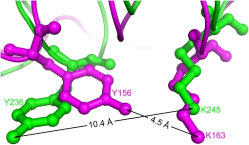 Structural comparison of the Y-X8-K motif of xoFabV and the Y-X6-K motif of ecFabI.Despite the fact that the Y-X8-K motif of xoFabV has two more residues than the Y-X6-K motif of ecFabI, the conformations of the conserved tyrosine and lysine residues are similar. The distance between the conserved tyrosine (Y236) and lysine (K245) residues in the Y-X8-K motif of xoFabV (shown in green) is 10.4 Å, while the distance between Y156 and K163 in the Y-X6-K motif of ecFabI (magenta) is 4.5 Å.