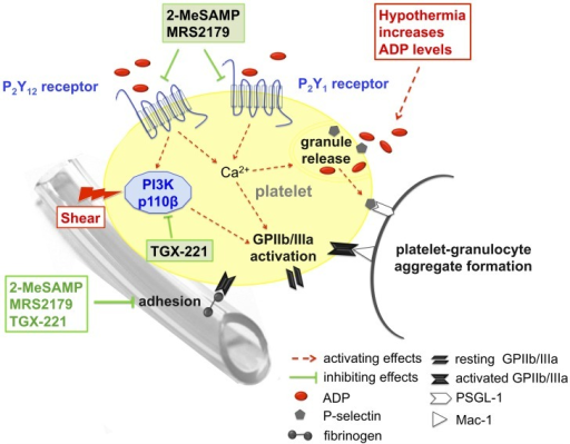 Overview of a pharmacological strategy for platelet protection during hypothermic ECC employing P2Y12 and P2Y1 receptor blockers as well as a PI3K p110β inhibitor.