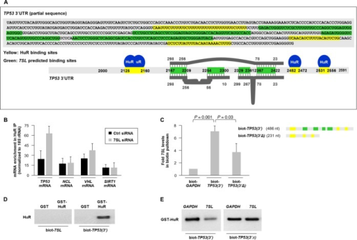 Competitive regulation of p53 expression by 7SL and HuR. (A) Schematic of TP53 mRNA depicting potential binding sites for 7SL (green) and HuR (yellow). The thick grey lines and numbers above and below TP53 3′UTR depict regions of complementarity with 7SL. (B) HeLa cells were transfected with 7SL siRNA; 48 h later, HuR association with the indicated mRNAs was quantified by RIP analysis. Data were normalized to the levels of GAPDH mRNA in each IP sample and represented as the enrichment of each mRNA relative to the levels in IgG IP. (C) Top, partial in vitro TP53 3′UTR biotinylated transcripts bearing the sites of interaction with HuR and 7SL [biot-TP53(3′)] or bearing only the sites of interaction with HuR [biot-TP53(3′Δ)]. Bottom, biotinylated RNAs were incubated with non-biotinylated 7SL and the levels of 7SL in the pulldown were measured by RT-qPCR analysis. (D) GST or GST-HuR were incubated in vitro with the biotinylated RNAs shown; following pulldown, western blot analysis was carried out to detect HuR levels. (E) GST-HuR was incubated in vitro with the biotinylated and non-biotinylated RNAs shown and its presence in the pulldown material was assessed by western blot analysis. Data in (B) are the means + S.D. from three independent experiments; data in (C) and (E) are average of two repeats showing similar results; data in (D) are representative of three repeats.