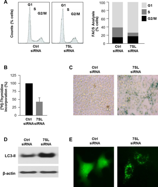 Influence of 7SL silencing on cell phenotype. (A) Forty-eight hours after transfection of HeLa cells with Ctrl siRNA or 7SL siRNA, cells were subjected to FACS analysis (left) and the relative G1, S and G2/M compartments calculated (right). Data are representative of three independent experiments. (B) Measurement of [3H]-thymidine incorporation by 48 h after transfection of HeLa cells with Ctrl siRNA or 7SL siRNA. (C) β-galactosidase activity in HeLa cells 5 days after transfection with either Ctrl siRNA or 7SL siRNA. (D) Western blot analysis of the autophagy marker LC3 in 48 h after transfection of HeLa cells with Ctrl siRNA or 7SL siRNA. (E) HeLa cells were transfected with a plasmid that expresses GFP-LC3 (a fluorescent fusion protein that is recruited to autophagosomes) and with either Ctrl siRNA or 7SL siRNA; 48 h later, GFP-LC3 signals were visualized by fluorescence microscopy.