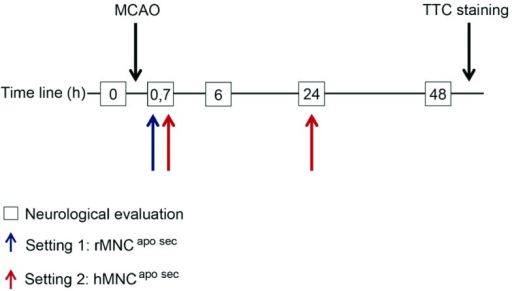 Experimental study setting.For setting 1, rMNCapo sec (apoptotic MNC-secretomes from rats) were injected 40 minutes after MCAO (blue arrow). In setting 2, hMNCapo sec (apoptotic MNC-secretomes from humans) were administered twice at 40 minutes (0.7 hours) and 24 hours after MCAO (red arrows). In both settings, neurological evaluations were performed at 0 hours (before surgery) as well as 6, 24, and 48 hours after surgery (boxes). Both treatment and control animals were euthanized 48 hours after surgery and brain slices were treated with TTC (2,3,5-triphenyltetrazolium chloride) to stain ischemic areas in the brain.