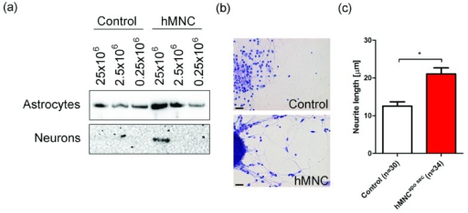Enhanced CREB phosphorylation and neurite length in neurons treated with apoptotic MNC-secretomes.(a) Cell extracts were prepared after stimulation with hMNCapo sec or cell culture medium as control. Western blot analysis for phospho-CREB revealed a dose dependent activation of CREB in astrocytes and in neurons. (b) Neuron cultures treated with hMNCapo sec or control medium for five days were stained with methylene-blue. One representative picture of ten is shown. Bar=10 µm (c) Lengths of neurons treated with hMNCapo sec or cell culture medium as control were calculated using ImageJ software. Bars represent the mean of five different cultures.