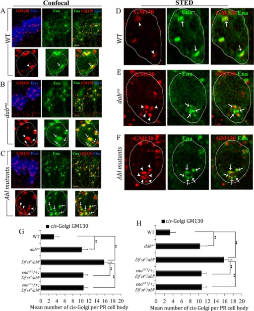 Abl signaling pathway controls cis-Golgi organization and distribution. (A–C) Projected confocal Z-stacks of larval eye disks stained with the indicated antibodies. (A) Wild type. (B) dabmz. White asterisks in enlarged panels correspond to GM130 and Ena puncta from a neighboring cell body in the PR cluster. (C) Abl mutant (Df stJ7/abl4). Note that in the dab and Abl mutants the number of both Ena- and GM130-positive puncta in each cell is increased, and they are preferentially redistributed to the basal cytoplasm of each cell. (D–F) Single optical sections of WT (D), dabmz (E), and Df stJ7/abl4 (F) larval eye disks acquired through STED microscopy (GM130 in red and Ena in green). (G) Quantification of cis-Golgi fragmentation phenotypes in WT, dabmz, and Abl mutants. n is reported on the bars. p values were calculated by ANOVA (**p < 0.001). Error bars represent SEM. (H) Quantification of cis-Golgi distribution in WT and Abl pathway mutants. n for each genotype is reported on the bars. Error bars represent SEM. **p < 0.001.