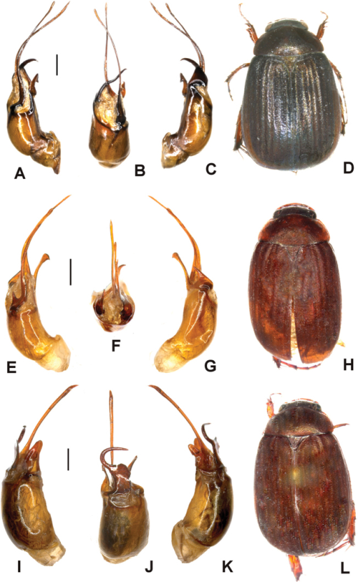 A–DTetrasericajinghongensis sp. n. (holotype) E–HTetrasericamenglongensis sp. n. (holotype) I–LTetrasericatianchiensis sp. n. (holotype). A, E, I aedeagus, left side lateral view C, G, K aedeagus, right side lateral view B, F, J parameres, dorsal view D, H, L habitus (not to scale). Scale: 0.5 mm.