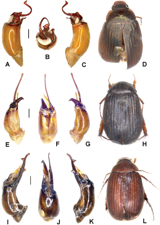 A–DTetrasericaliangheensis sp. n. (holotype) E–HTetrasericagraciliforceps sp. n. (holotype) I–LTetrasericapingjiangensis sp. n. (holotype). A, E, I aedeagus, left side lateral view C, G, K aedeagus, right side lateral view B, F, J parameres, dorsal view D, H, L habitus (not to scale). Scale: 0.5 mm.