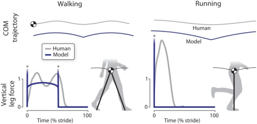 Comparison of work-minimizing model of locomotion with human walking and running gaits, in terms of body center of mass (COM) trajectories and vertical ground reaction forces vs. time.The model's COM trajectories feature a sharp, instantaneous redirection due to ideal impulsive vertical ground reaction forces (asterisks denote infinitely high peaks, shown truncated) in both walking and running. In contrast, human gait has much smoother COM trajectories and more rounded vertical leg forces with finite peaks.