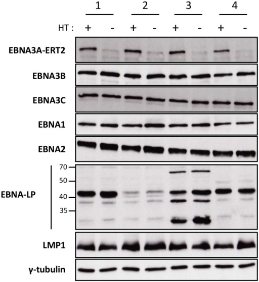 Validation of EBNA3A-ERT2 conditional LCLs.Expression of latency-associated EBV proteins EBNA1, EBNA2, EBNA3A-ERT2, EBNA3B, EBNA3C, EBNA-LP and LMP1 were analysed by Western blotting extracts from four EBNA3A-ERT2 LCLs (named 1, 2, 3 and 4) cultured in medium with 4HT (+) and 29 days without 4HT (-). The blot was probed for γ-tubulin as a control for loading.
