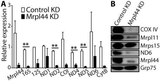 Knockdown of Mrpl44 affects the expression of mtDNA-encoded genes.Protein and RNA were extracted from NIH3T3 knocked down (ORF) for Mrpl44 or expressing a control shRNA. (A) RNA expression of mitochondrial genes was analyzed by quantitative RT-PCR. Expression was normalized to β-actin. Statistical analysis was performed using multiple t-test with Holm-Sidak correction for multiple comparisons (**p<0.005). The mean +/- SEM of 3 independent experiments is shown. (B) Western blotting for the OXPHOS proteins COX IV and ND6, mitoribosome proteins Mrpl44, Mrpl11 and Mrps15. The mitochondrial protein Grp75 was analysed as a loading control. A representative of three independent experiments is shown.