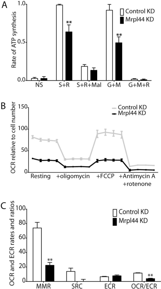 ATP synthesis capacity and bioenergetics are compromised by Mrpl44 knockdown.(A) Rates of ATP synthesis were measured in NIH3T3 cells knocked down (ORF) for Mrpl44 or expressing a control shRNA, in the presence of specific substrate inhibitor combinations. Rates are expressed relative to the control Complex II-dependent rate (succinate + rotenone) on the day. The mean +/- SEM from six independent experiments is shown. (B) Oxygen consumption rates (OCR) measured by Seahorse XF24/3 extracellular flux analysis. The values were normalized to cell number, determined by CyQUANT. Four measurements were taken at each stage of the assay. (C) Calculation of maximum respiratory rate (MRR), spare respiratory capacity (SRC), extracellular acidification rate (ECAR) and OCR/ECAR ratio from the Seahorse analysis. The mean +/- SEM of 3 independent experiments is shown. Statistical analysis performed using multiple t-test with Holm-Sidak correction for multiple comparisons (**p<0.005).