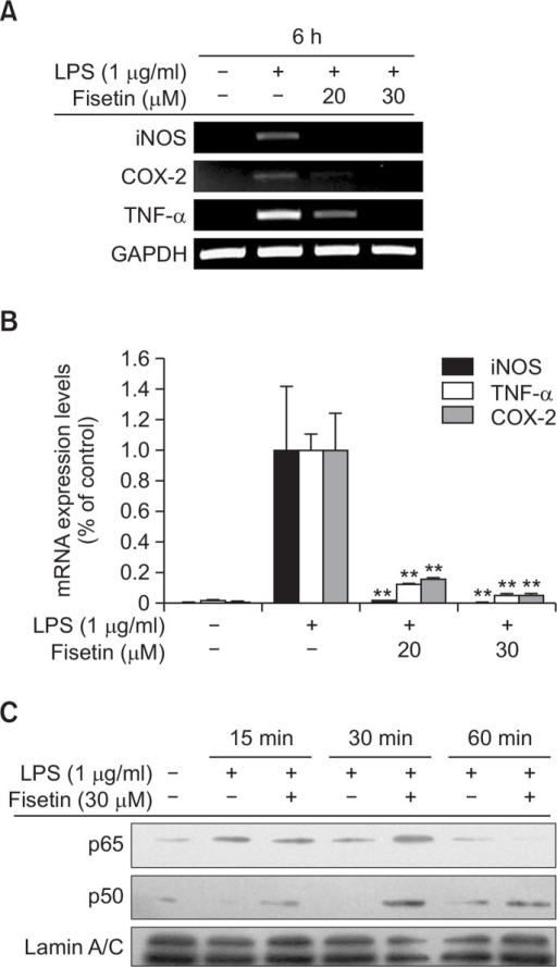 The effect of fisetin on transcriptional activation in LPS-stimulated RAW264.7 cells. (A and B) The mRNA levels of iNOS, COX-2, and TNF-α expressed in LPS (1 μg/mL)-treated RAW264.7 cells in the presence or absence of fisetin (20 and 30 μM) were measured by RT-PCR (A) or real-time PCR (B). (C) The nuclear levels of p65 and p50 in RAW264.7 cells treated with LPS (1 μg/mL) in the presence or absence of fisetin (30 VM) were analyzed by immunoblotting analysis. Data (B) are expressed as the mean ± SD of experiments, which were performed with six samples. **p<0.01 compared to normal or control groups.