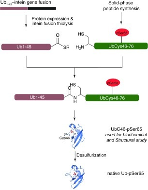 Strategy for expressed protein ligation (EPL) of site-specifically phosphorylated ubiquitin. The N-terminal fragment of Ub (residues 1–45) was obtained as a C-terminal thioester by thiolysis of a recombinant Ub1–45–intein fusion. The C-terminal peptide (residues 46–76 including phosphoserine at position 65) was synthesised commercially by solid-phase peptide synthesis. The native Ala46 residue was mutated to Cys to facilitate EPL; subsequent Cys desulfurisation furnishes the native protein.