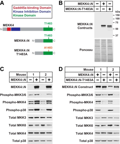 MEKK4ΔN, a constitutively active Gadd45a-independent MEKK4 construct.A, schematic of the MEKK4ΔN and MEKK4ΔN-T1483A constructs. B, TA muscles were transfected with 5 μg of empty pcDNA plasmid, 5 μg of MEKK4ΔN-FLAG plasmid, or 5 μg of MEKK4ΔN-T1483A-FLAG plasmid, as indicated. Three days post-transfection, TA muscles were harvested for immunoblot analysis using monoclonal anti-FLAG IgG. C, one TA per mouse was transfected with 5 μg of empty pcDNA plasmid, and the contralateral TA in each mouse was transfected with 5 μg of MEKK4ΔN-FLAG plasmid, as indicated. Three days post-transfection, bilateral TA muscles were harvested for immunoblot analysis using the indicated antibodies. D, one TA per mouse was transfected with 5 μg of MEKK4ΔN-FLAG plasmid, and the contralateral TA in each mouse was transfected with 5 μg of MEKK4ΔN-T1483A-FLAG plasmid, as indicated. Three days post-transfection, bilateral TA muscles were harvested for immunoblot analysis using the indicated antibodies.