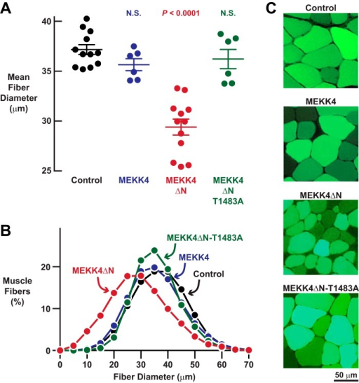MEKK4ΔN induces skeletal muscle fiber atrophy in a Gadd45a-independent manner.A–C, mouse TA muscles were transfected with 5 μg of empty pcDNA plasmid, 5 μg of MEKK4-FLAG plasmid, 5 μg of MEKK4ΔN-FLAG plasmid, and/or 5 μg of MEKK4ΔN-T1483A-FLAG plasmid, as indicated. All muscles were co-transfected with 2.5 μg of eGFP plasmid. TA muscles were harvested for histological analysis 7 days post-transfection. A, average diameters of skeletal muscle fibers. Each data point represents the mean of >400 muscle fibers from one muscle, and horizontal bars denote average of the means ± S.E. p values were determined with a one-way ANOVA and Dunnett's multiple comparison test. N.S., not significant or p > 0.05. B, size distribution of all muscle fibers from A. C, representative fluorescence microscopy images of muscle cross-sections.