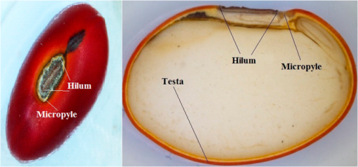 Picture of profile and cross section of E. velutina seed showing the parts that were sealed in the soak test.The testa corresponds to the remaining surface seed (red wrap).