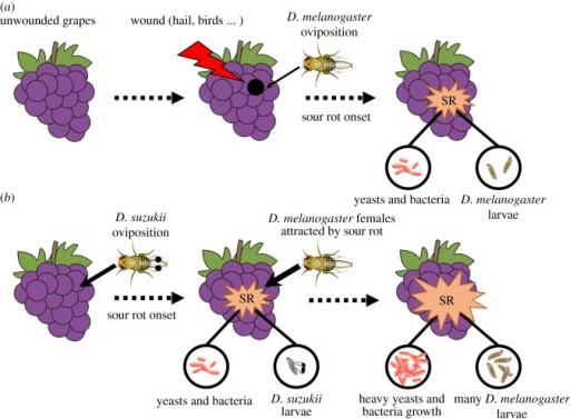 Scenarios of sour rot (SR) aetiology in the (a) absence and (b) presence of D. suzukii. Without D. suzukii, sour rot necessitates grape wounds in which D. melanogaster can lay its eggs. With D. suzukii, pest oviposition triggers sour rot onset, leading to earlier disease development and the production of odours that attract D. melanogaster females for oviposition. D. suzukii would hence facilitates D. melanogaster infestation and sour rot disease outbreaks. Note that spots on the wings of D. suzukii females and spotted wings on D. suzukii larvae were added for the figure's convenience.