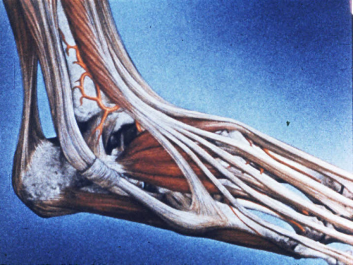 long digital extensor muscles; short digital extensor muscles; tendons of long fibulares muscles; tendons of short fibulares muscles
