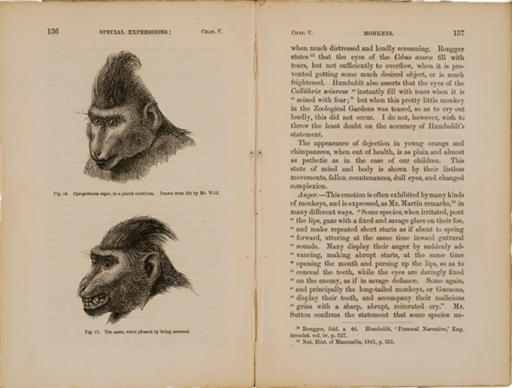 <p>Image of facing pages (p. 136-137) from The expression of the emotions in man and animals / by Charles Darwin. London : John Murray, 1872. Page 136 has two illustrations showing the head of a Cynopithecus niger. Fig. 14. Cynopithecus niger in a placid condition. Drawn from life by Mr. Wolf. Fig. 15. The same, when pleased by being caressed. Page 137 is text.</p>