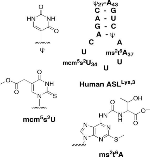 Secondary structure of human tRNALys,3 ASL. Chemical structures of modified bases found in ASLLys,3.