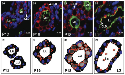 The size and location of cytoplasmic lipid droplets (CLDs) changes upon secretory activation. Mammary glands were isolated from FVB mice on pregnancy (P) days (a) 12, (b) 16, and (c) 18, and (d) day 2 of lactation (L2). Tissues were fixed in neutral-buffered formalin, stained with anti-adipophilin (ADRP) antibody and Alexa Fluor 594 conjugated secondary antibody to outline the cytoplasmic lipid droplets (appearing in red), Alexa Fluor 488-conjugated wheat germ agglutinin to outline the luminal surface of the luminal space of the secretory alveoli (appearing in green), and 4',6-diamino-2-phenylindole (DAPI) to stain the nuclei of mammary epithelial cells (appearing in blue). Idealized schematic drawings, not meant to represent the micrographs shown in the top panel, illustrate the positions of the luminal space (labeled LU), nuclei (purple), and CLDs (labeled red) at pregnancy days (e) 12, (f) 16, and (g) 18, and (h) day 2 of lactation. The scale bars in (a-d) represent 10 μm. Luminal space is indicated by the letters 'Lu', and the white arrowheads indicate CLDs.