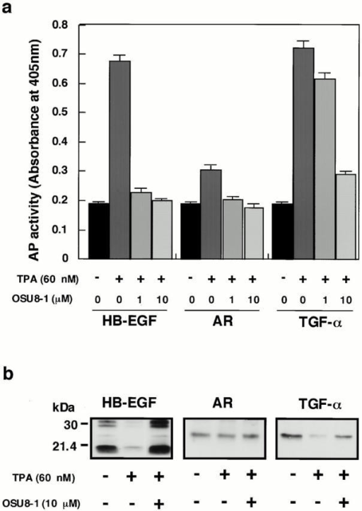 Effect of OSU8-1 on TPA-inducible shedding of EGFR ligands. (a) AP activities in the conditioned media of CHO transfectants expressing AP-tag HB-EGF, AP-tag AR, and AP-tag TGF-α treated with or without 60 nM of TPA in the presence or absence of OSU8-1. Cells were preincubated with the indicated concentration of OSU8-1 for 10 min at 37°C. The cells were incubated with fresh media containing the indicated concentrations of TPA and OSU8-1 for 30 min at 37°C. AP activity was measured as described in Materials and Methods. Each bar is the average of triplicate values. (b) CHO transfectants expressing wild-type (non–AP-tag fused) HB-EGF, AR, and TGF-α were biotinylated and preincubated with or without 10 μM OSU8-1 for 10 min at 37°C. Cells were incubated with fresh media containing the indicated concentrations of TPA and OSU8-1 for 30 min at 37°C, followed by cell lysis, immunoprecipitation with antibodies against the shed ligands, SDS-PAGE, Western blotting, and avidin-HRP/ECL detection. The wild-type HB-EGF shows different processing forms (Goishi et al. 1995).
