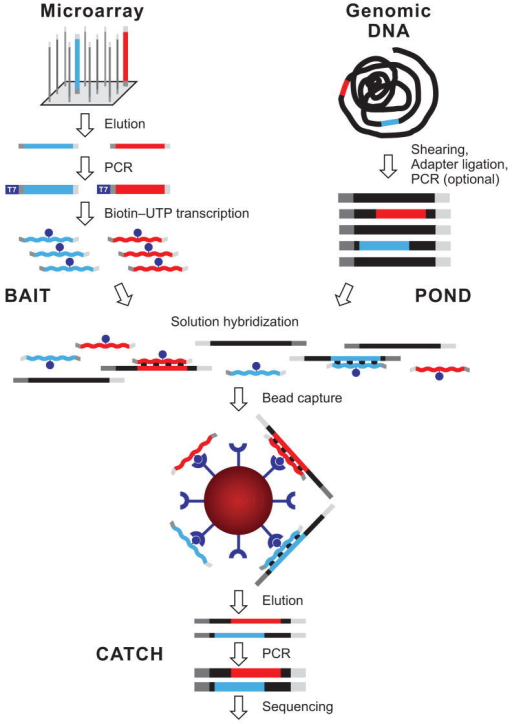 "Overview of hybrid selection method. Illustrated are steps involved in the preparation of a complex pool of biotinylated RNA capture probes (""bait""; top left), whole-genome fragment input library (""pond""; top right) and hybrid-selected enriched output library (""catch""; bottom). Two sequencing targets and their respective baits are shown in red and blue. Thin and thick lines represent single and double strands, respectively. Universal adapter sequences are grey. The excess of single-stranded non-self-complementary RNA (wavy lines) drives the hybridization. See main text and Methods for details."