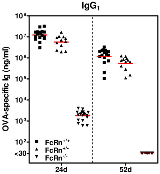 Absorption of OVA-specific IgG1 by breastfed offspring was determined by offspring FcRn expression. Naive C57BL/6J-FcRn+/- females (B6naive) were mated to C57BL/6J-FcRn-/- males. Progeny of this mating were FcRn+/- or FcRn-/-. C57BL/6J OVA-induced AAD (B6AAD) foster mothers were generated (as described in the Methods) and within 24 hours of delivery, pups with or without FcRn were adoptively nursed by B6AAD foster mothers. Serum was collected from FcRn+/+, FcRn+/-, or FcRn-/- offspring at weaning (24 days of life) and 52 days of life (1 week prior to OVA-immunization) and concentrations of OVA-specific Igs were measured by ELISA. OVA-specific Igs were absent from the serum of pups nursed by B6naive mothers (data not shown). Results are presented as 12-19 individual mice per group and the red line is the mean. There were no significant differences in serum concentrations of OVA-specific IgG1 antibodies between FcRn+/+ and FcRn+/- offspring at 24 days or 52 days of life. At 24 days of life, serum OVA-specific IgG1 concentrations were significantly lower in FcRn-/- offspring when compared to FcRn+/+ or FcRn+/- offspring (p ≤ 0.01). At 52 days of life, OVA-specific IgG1 antibodies were no longer detected in the serum of FcRn-/- offspring (limit of detection 30 ng/ml).