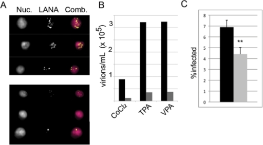 Virion production is significantly decreased by rapamycin treatment.BCBL-1 +/− rapamycin 12 nM were induced with CoCl2, TPA, or VPA. Five days post-induction, virus was concentrated from supernatants. HeLa cells were then infected with concentrated virus in the presence of polybrene. Viral titers were determined by staining HeLa cells for punctate intranuclear LANA dots and analyzing via multispectral imaging flow cytometry. (A) Images show representative nuclear staining with DRAQ5 (Nuc.), LANA antibody stain, and the overlay (Comb.). Upper panel shows three representative HeLa cells infected with inoculum from untreated VPA-induced BCBL-1. Lower panel shows representative HeLas infected with inoculum from rapamycin-treated VPA-induced cells. (B) Graph of viral titers untreated (black bars) or treated with rapamycin (gray bars) for each indicated inducting agent. Representative experiment, n = 2. (C) Inhibition of cell-to-cell virus transmission from spontaneously lytic BCBL-1 was assessed by culture of BCBL-1 in the presence of 12 nM rapamycin for 2 days. Cells were then harvested, placed in fresh media without rapamycin and co-cultured with HeLa cells for 24 h. BCBL-1 cells were removed, HeLa cells washed x 2 to remove non-adherent BCBL-1 cells, and cultured an additional 24 h before harvest. Adherent HeLa cells were trypsinized, fixed and stained for intranuclear LANA dots. LANA+ HeLa cells were analyzed by MIFC. Graph shows percentage (mean ± s.d.) of infected cells from triplicate cultures for HeLa cells co-cultured with either rapamycin-treated (gray) or DMSO-treated (black) BCBL-1. ** p<0.01.