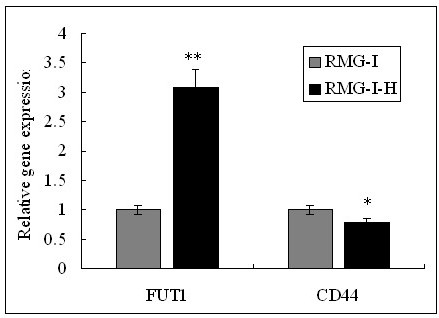The mRNA expression of CD44 and α1, 2-FT in RMG-I and RMG-I-H cells were tested by quantitative Real-Time RT-PCR. The mRNA level of α1, 2-FT was significantly increased, but the mRNA level of CD44 was almost the same in RMG-1-hFUT cells and RMG-1 cells. (**P < 0.01, * P > 0.05).