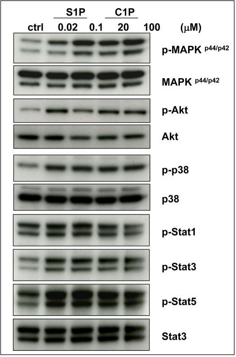 Bioactive lipids stimulate signaling pathways in murine Sca-1+ HSPCsC1P and S1P activate several signaling pathways in murine BMMNC that are crucial for cell migration and adhesion: MAPKp44/42, Akt, p38, Stat-3, and Stat-5. Before stimulation, cells were starved overnight in RPMI containing 0.5% BSA in an incubator and subsequently stimulated with S1P (0.02μM or 0.1μM) or C1P (20μM or 100μM) for 5 min. Experiments were repeated independently three times with similar results. A representative western blot is shown.