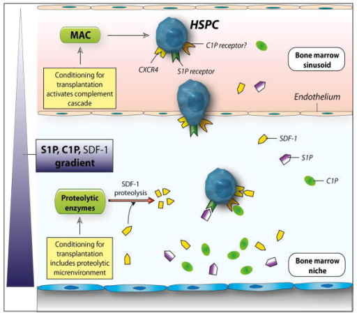 The involvement of bioactive lipids in homing and engraftment of HSPCsConditioning for transplantation by radio-chemotherapy induces a proteolytic microenvironment in BM and activates the complement cascade, which leads to generation of soluble MAC. Several proteolytic enzymes are released that decrease the SDF-1 level in BM. At the same time, BM cells damaged by conditioning for transplantation by lethal irradiation release C1P and S1P, which are bioactive lipids resistant to proteolytic enzymes. As potent chemoattractants, both play an important role in homing of stem cells to BM. In addition, MAC generated by CC activation enhances adhesiveness of HSPCs to BM stroma and secretion of SDF-1 by these cells. This increase in SDF-1 secretion may somehow ameliorate the drop in SDF-1 level in such a highly proteolytic microenvironment. What is not shown in this scheme is that CC cleavage fragments, such as C3a and iC3b, also contribute to the homing of HSPCs, as reported by us in the past 3, 14. By increasing the PGE2 level in BM, these CC cleavage fragments level may also modulate the seeding of HSPCs in BM, in addition to the bioactive lipids C1P and S1P.