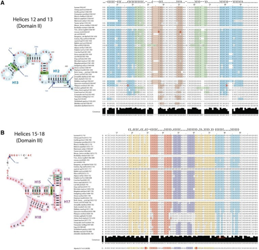 Sequence alignment for the highly conserved SRA regions. (A) SRA conservation diagram for helices H12 and H13 of domain II (nucleotide positions 357–440). Left, secondary structure. Annotation is as in Figure 4. Right, sequence alignment across 45 vertebrates. Top line shows dot-bracket notation of secondary structure. Light blue, complementarity of helix H12; light brown and light green, complementarity of helix H13. Red, covariant base pairs. (B) Same as (A) for H15–H18 of domain III (nucleotide positions 478–583).