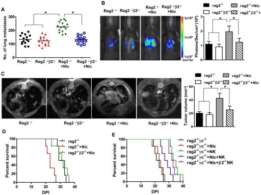 Impairment of NK cell-dependent suppression of B16 tumor cell metastasis by nicotine is mediated by nAChR β2.Mice of different genotypes received nicotine (Nic) or PBS for 21 days and engrafted with the B16 melanoma cell line (1×106 cells/mouse). A. Seven or 14 days later, a portion of mice were euthanized and the lung dissected. Total numbers of melanoma nodules counted in these organs are shown (n = 12 mice/group). B, C. Quantification of tumor growth in these animals during the period are achieved via bioluminescence imaging (B) and high field MRI (C for T1 images; Figure S2 denotes Th2 images. N = 15–18/group. P values, ANOVA, *p<0.05. D. Survival for the remaining animals are monitored for 60 days (n = 15–18 mice/group). E. Mice were engrafted with melanoma cells lines (1×106/mouse) in the presence or absence of nicotine, and NK cells (5×105 NK cells/mouse) from wild type or nAChR β2−/− mice. Mice were then monitored for survival up to 60 days. Results are pooled from three experiments with similar results. N = 6–8 mice/group.