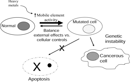 Proposed model for how metal stimulation of mobile elements may impact genetic stability.The balance between normal cells and altered or mutated cells is depicted as an equilibrium. External and internal components can affect the outcome of this equilibrium. Normal cells are consistently being mutated or altered by external factors, such as UV light, etc. The damage generated can be either repaired or progress to two outcomes: (1) Apoptosis to eliminate the damaged cell or (2) Disease/cancerous cell. We propose that heavy metals shift the equilibrium through the increase of retroelement activity potentially leading to the accumulation of more mutated cells.