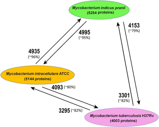 Comparative genomics of selected mycobacterial genomes. The genomes of Mycobacterium indicus pranii (shown in green; an NP), Mycobacterium intracellulare ATCC 13950 (orange; an OP), and Mycobacterium tuberculosis H37Rv (pink; a TP) were selected for comparative genomic analyses. We used BLASTp, with a cutoff of 20% identity and e value of 10e–4, to determine the number of homologous protein-coding genes common between them (shown as edge labels between the nodes). The arrowhead represents the query genome, whereas the arrow tail represents the subject genome.