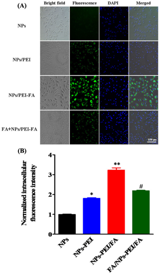 (A) Cellular internalization of nanoparticles into human breast cancer MDA-MB-231 cells was observed by an inverted microscope after 6 h incubation with Fe3O4@SiO2(FITC) (NPs), Fe3O4@SiO2(FITC)/PEI (NPs/PEI), Fe3O4@SiO2(FITC)/PEI-FA (NPs/PEI-FA), and FA pretreated MDA-MB-231 cells before Fe3O4@SiO2(FITC)/PEI-FA addition (FA + NPs/PEI-FA). (B) Quantitative cellular uptake of the nanoparticles into MDA-MB-231 cells through measuring mean fluorescence intensity of FITC fluorescence in the cells, which was normalized to the control (NPs) (n = 5, mean ± SD). *p < 0.05 compared with NPs, **p < 0.01 compared with NPs, #p < 0.05 compared with NPs/PEI-FA.