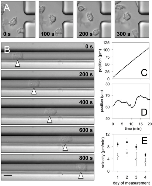 Movement in narrow microchannels — random and persistent walkers.(A) Snapshots of cells moving outside the microchannels on a planar open surface. (B) Persistent walker moving inside a microchannel, scale bar 10 µm. (C) Position of the persistent walker as a function of time. (D) Position of a random walker inside a microchannel as a function of time. (E) Average velocities of persistent (filled) and random walkers (open circles) for different experiments. The numbers of persistent and random walkers were (1) 5 and 4, (2) 5 and 3, (3) 3 and 3, (4) 10 and 5.