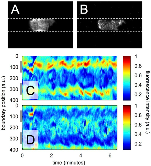 Localization of F-actin and myosin II in a persistant walker.(A) Fluorescence image showing the distribution of LimE-RFP, a marker for filamentous actin, inside a persistent walker. (B) Fluorescence image displaying the distribution of myosin II-GFP inside the same cell. Images in (A) and (B) were recorded by confocal microscopy, the cell is moving from left to right along the microchannel. Kymographs of (C) LimE-RFP distribution and (D) myosin II-GFP distribution along the cell border. Gray bars to the left of the kymographs indicate the average positions of the channel walls. — single cell example out of more than 10 cells.
