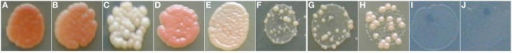 Adaptation of cybrids. Cells from single cybrid colony were diluted, spotted on the plates with the non-fermentable carbon source (YPGE) and cultivated for 7 days at 28°C. S. cerevisiae cybrids with mtDNA from: (A)S. cerevisiae W303 1A; (B)S. cerevisiae CBS 400; (C)S. paradoxus CBS 432; (D)S. cariocanus CBS 7994; (E)S. kudriavzevii CBS 8840; (F)S. paradoxus CBS 2908; (G)S. paradoxus CBS 7400; (H)S. mikatae CBS 8839; (I)S. bayanus CBS 380; (J)S. cerevisiae MCC109 ρ0.