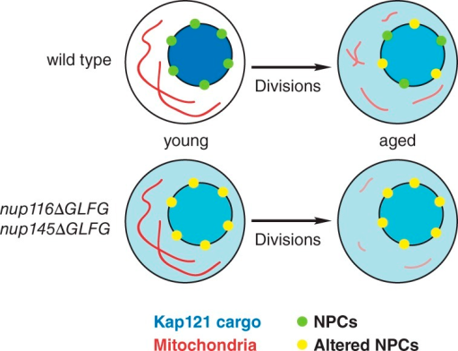 NPCs regulate RLS by influencing specific nuclear transport pathways. Functional NPCs in young wild-type cells properly mediate Kap121-dependent nuclear import. Degradation or loss of Nup116 and Nsp1 causes deterioration of NPC function in replicatively aged wild-type cells, which inhibits nucleocytoplasmic transport and likely increases NPC permeability. Along with other signaling pathways that regulate longevity, inhibited Kap121 transport decreases mitochondrial membrane potential and reduces RLS. Mitochondrial membrane potential is similar to wild type in young nup116ΔGLFG nup145ΔGLFG cells but is reduced faster during the aging process because Kap121-dependent transport is inhibited in young cells. Accelerated reduction in membrane potential is likely at least partially responsible for the decreased RLSs of nup116ΔGLFG nup145ΔGLFG cells.