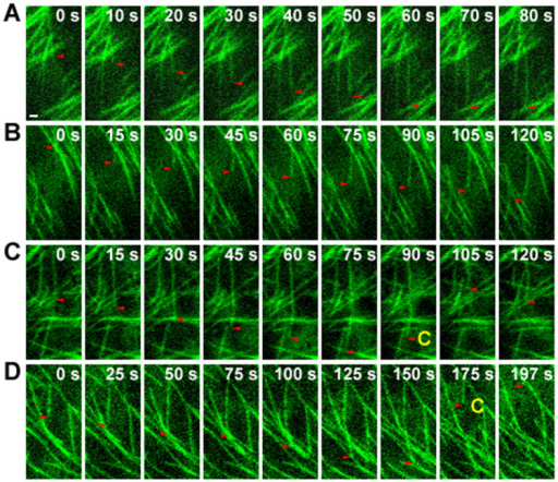 The dynamic instability behavior of individual microtubules is altered in sar1.(A–D) Sequential images from time-lapse movies of WT (A and C) and sar1 (B and D) cells expressing EGFP-tagged α-tubulin. Red arrowheads track the plus ends of selected microtubules. White numbers indicate the elapsed time (seconds). Yellow letter C highlights microtubule catastrophe events (switches from growth to shrinkage). Scale bar = 1 µm in (A) for (A) to (D). See the entire series in Supplemental Movie 1 to 4 that correspond to panel A to D, respectively.