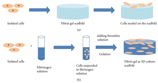 Schematic illustration of fabrications of two- and three-dimensional cell culture scaffold. The conventional two-dimensional scaffold is fabricated in advance of cell seeding and the isolated cells are seeded on the surface of scaffold (a). The three-dimensional scaffold cures in the presence of the encapsulated cells. Then, the mixture can be delivered into a mold to gel or directly injected into a defect in the body (b).