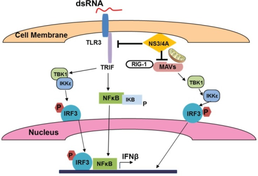 Sensing of viral (HCV) dsRNA by TLR3 and activation of IFNβ production.