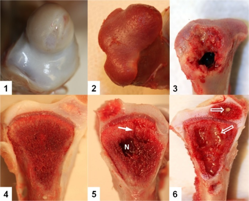 Stages of proximal femoral head degeneration (Upper row) or tibial head necrosis (Low row) leading progressively to bacterial chondronecrosis with osteomyelitis (BCO).1. Normal proximal femoral head; 2. Femoral head separation (FHS: epiphyseolysis); 3. Femoral head necrosis, FHN. 4. Normal proximal tibial head with struts of trabecular bone in the metaphyseal zone fully supporting the growth plate; 5. Tibial head necrosis (THN). Lytic channels (small arrows) penetrate from the necrotic voids into the growth plate. 6. Tibial head necrosis (THNsc). Bacterial infiltration and sequestrae (open arrows) provide macroscopic evidence of osteomyelitis.